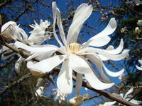 Spring Art Prints Magnolia Tree Flower White Blue