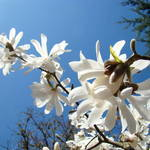 """Tree Flowers Art Prints White Magnolia Blossoms"" by BasleeTroutman"