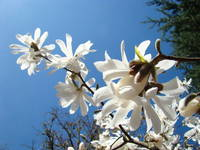 Tree Flowers Art Prints White Magnolia Blossoms