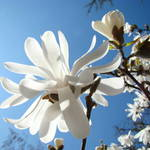 """Blue Sky Floral Art Prints White Magnolia Flowers"" by BasleeTroutman"