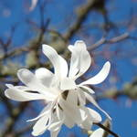 """Fine Art Prints White Magnolia Flower Blue Sky"" by BasleeTroutman"