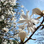 """Spring Art White Magnolia Tree Flowers Blue Sky"" by BasleeTroutman"