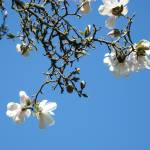 """Magnolia Tree Art Prints Blue Sky Landscape Trees"" by BasleeTroutman"