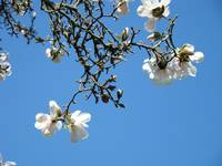 Magnolia Tree Art Prints Blue Sky Landscape Trees