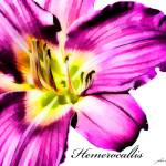 """Purple Dalylily (Hemerocallis)"" by johncorney"