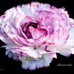 """RanunculusFlowerPrint"" by johncorney"