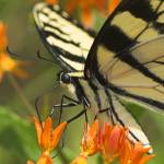 """Yellow Swallowtail Butterfly"" by tricia"