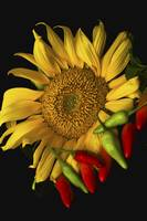 Sunflower and Peppers in Studio