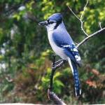 """Blue Jay"" by MorningStarPhotos"