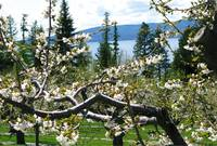 Cherry Blossoms by Flathead Lake