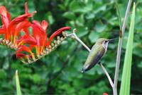 Humming Bird on Crocosmia