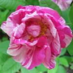 """""""Rosa Mundi"""" by barefootandupsidedown"""