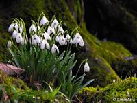 Snowdrops by River Hafren