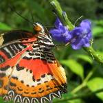 """Malay Lacewing Butterfly drinking Nectar"" by fizzyimages"