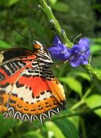 Malay Lacewing Butterfly drinking Nectar