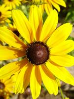Marguerite's Sunshine