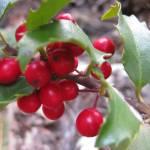 """HollyBerries"" by barefootandupsidedown"