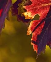 Wine-Colored Leaves