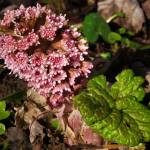 """Butterbur"" by roger"