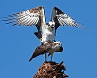 Ospreys Mating Series