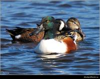 Shoveler in the Mix