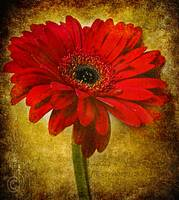 The Golden Gerbera