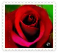 ~What a Lovely Lovely Red Rose......♥♥♥...♥♥♥...♥♥