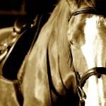 """Equine Portrait"" by nicolaus"