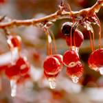 """Red Berries in Winter"" by MoonLiteStudio"
