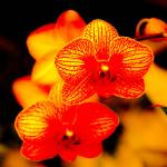 """orchid129"" by so-snapped"