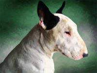 Bull Terrier on Green
