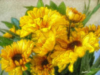 Yellow Chrysanthemums 3