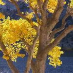 """Golden Tree"" by CharleneBurge"