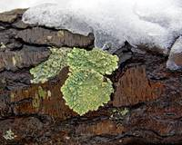 Lichen on Wet Bark