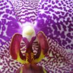 """She Said Hello - Phalaenopsis Orchid"" by CRS"