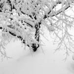 """""""Snowy Maple"""" by SusanPszenitzki"""