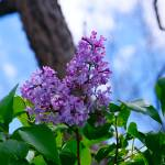"""Lilacs"" by MoonLiteStudio"