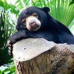 """Sun Bear Lazing"" by BarryJohansen"