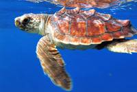 Atlantic Turtle