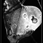 """""""bw leaf"""" by tbock"""