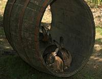 Barrel of Bunnies