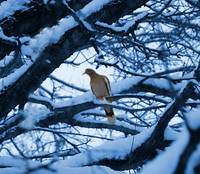 Winter Dove photograph
