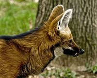 Maned Wolf 1529