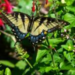 """""""Tiger Swallowtail"""" by awsheffield"""