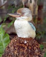 Kookaburra Looking Right