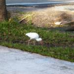 """""""White Ibis 001"""" by weberquinn3025"""
