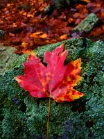 Moist Red Maple Leaf on Lichen