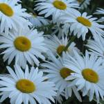 """White Daisies"" by mhamilton"
