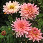 """Peach Mums"" by mhamilton"