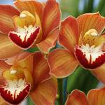 """Orange Cymbidium Orchids"" by bobbretell"